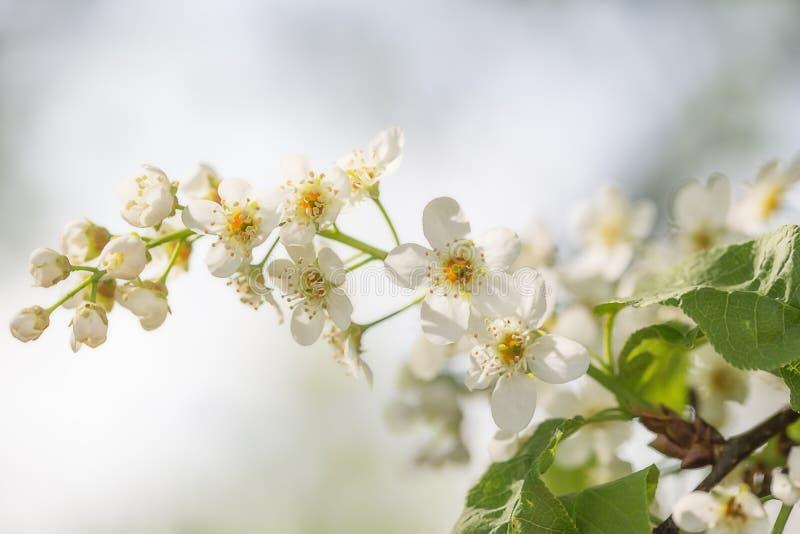 Ветвь с цветками конца вишни птицы вверх стоковое фото