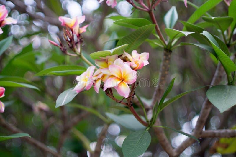 Ветвь тропического пинка цветет plumeria frangipani на предпосылке bokeh нерезкости стоковая фотография