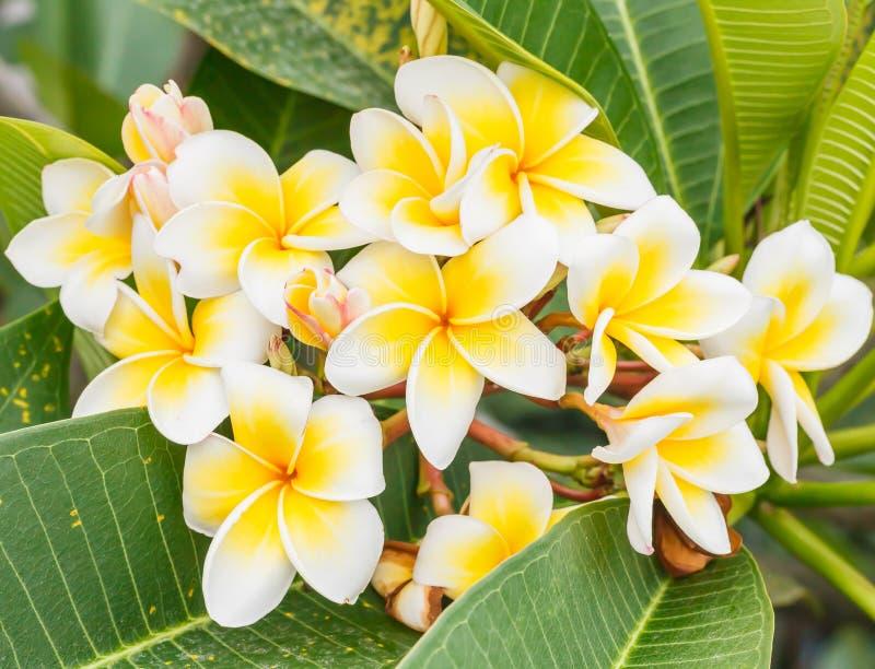Ветвь тропического frangipani цветков (plumeria), Таиланда стоковое фото
