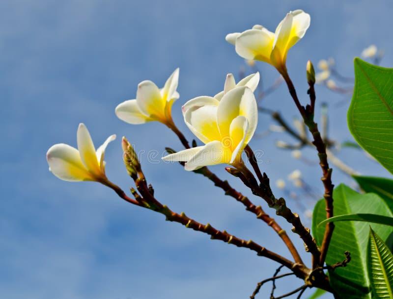 Ветвь тропического frangipani цветков (plumeria) стоковые фото