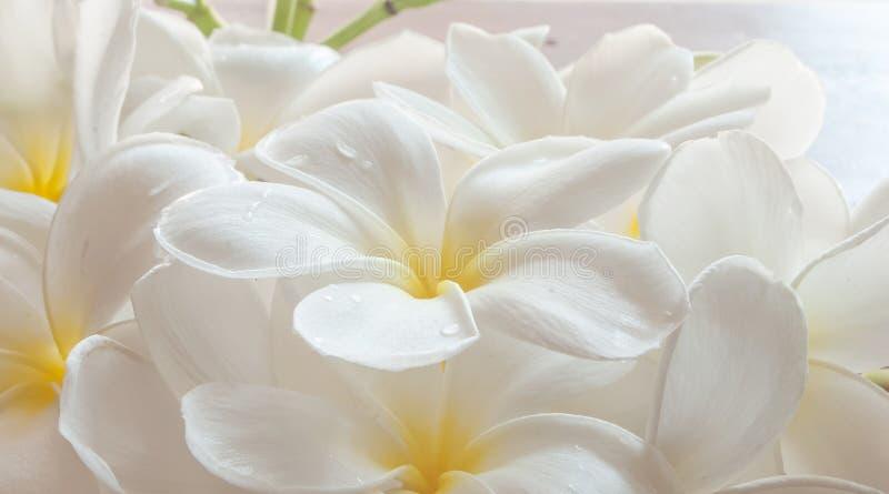 Ветвь тропического frangipani цветков (plumeria), стоковое изображение