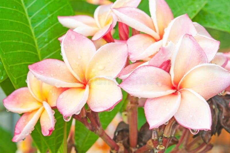Ветвь тропического frangipani цветков (plumeria) стоковые изображения rf