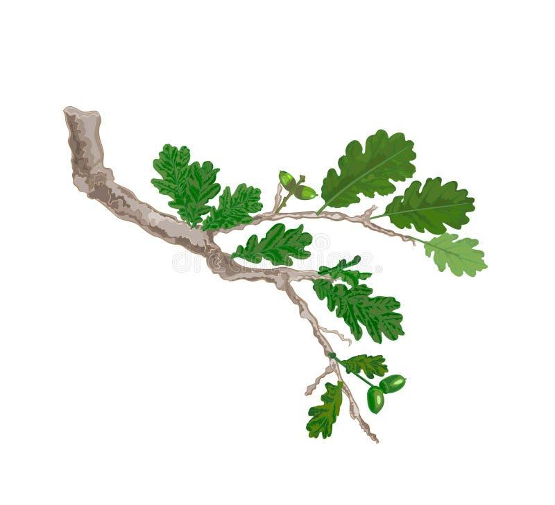 Ветвь дуба с вектором листьев и жолудей иллюстрация вектора