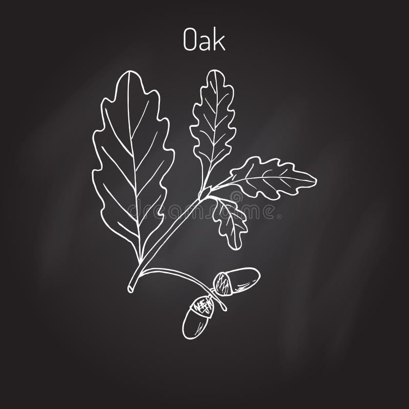 Ветвь дуба с листьями и жолудями зеленого цвета иллюстрация штока