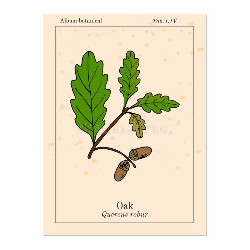 Ветвь дуба с листьями и жолудями зеленого цвета иллюстрация вектора