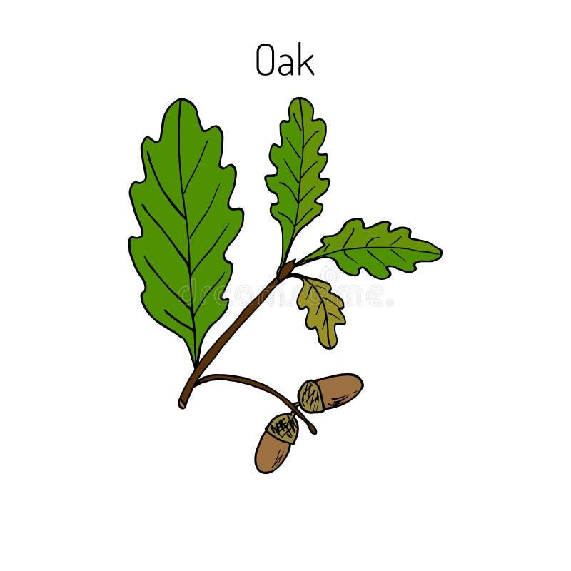 Ветвь дуба с листьями и жолудями зеленого цвета бесплатная иллюстрация