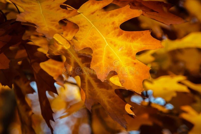 Листья дуба падения стоковое фото