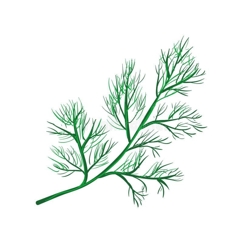 Ветвь укропа изолированная на белизне Ежегодная трава в семье сельдерея иллюстрация вектора