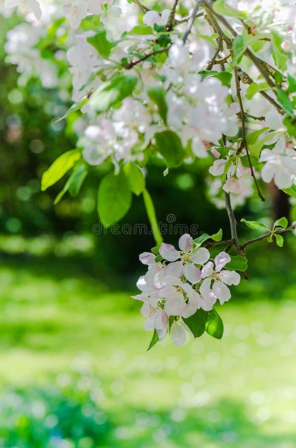 Ветвь цвести яблони, весны стоковая фотография rf