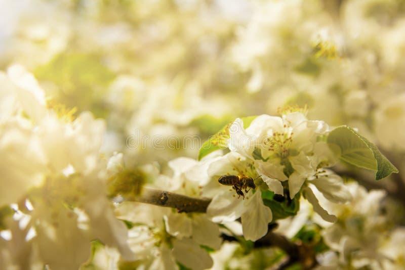 Ветвь цвести яблони с летанием пчелы к своим цветкам стоковые фото
