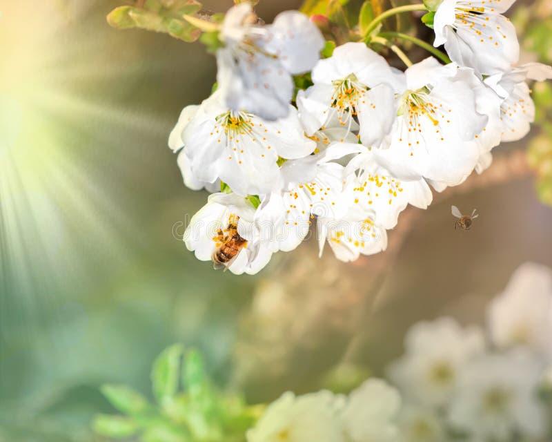 Ветвь цвести яблони с летанием пчел к своим цветкам в лучах солнца весны Пчела летая носит собранный стоковая фотография