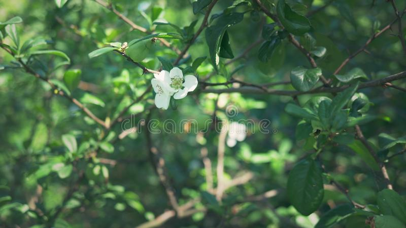 : Ветвь цвести японская айва с зеленым плодом Куст плода с красивыми белыми цветками и зеленым цветом стоковая фотография rf