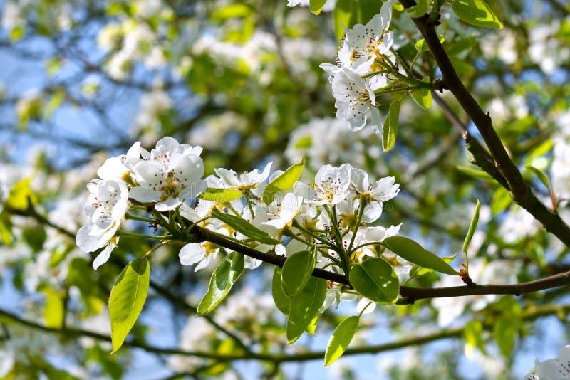 Ветвь цветений яблока. стоковое фото rf