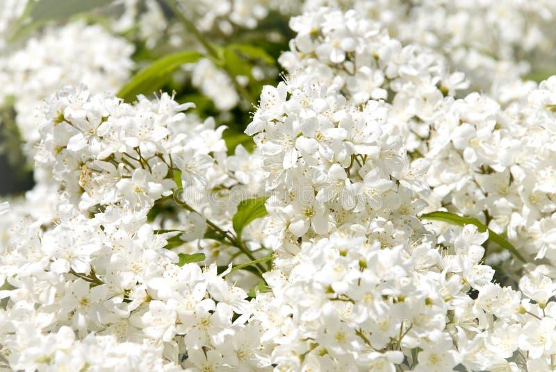 ветвь цветет малая белизна стоковое фото