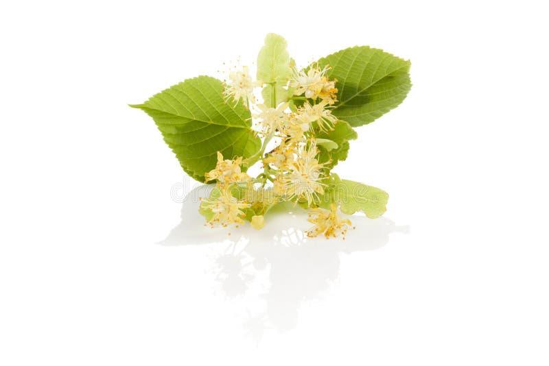 Ветвь цветка липы стоковая фотография rf
