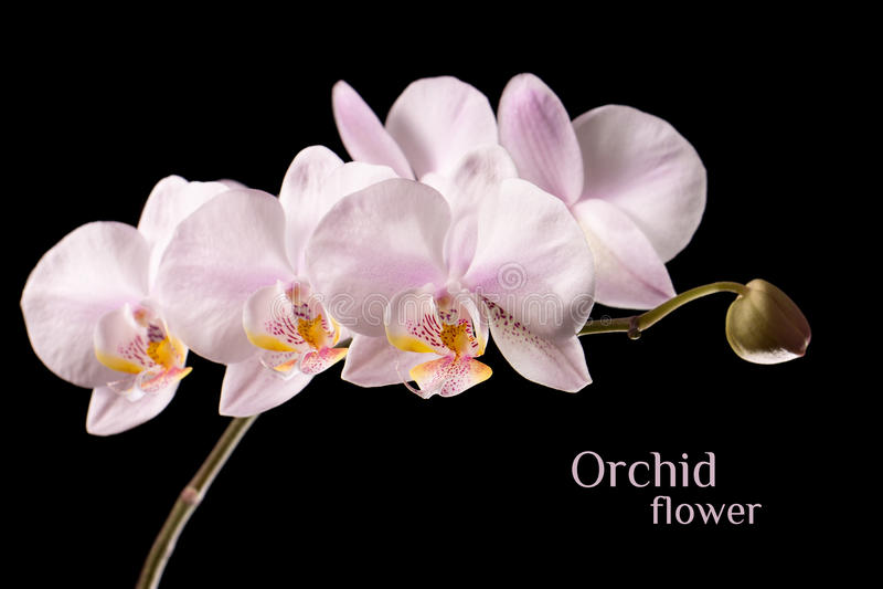 Ветвь цветка орхидеи изолированная на черной предпосылке стоковая фотография rf