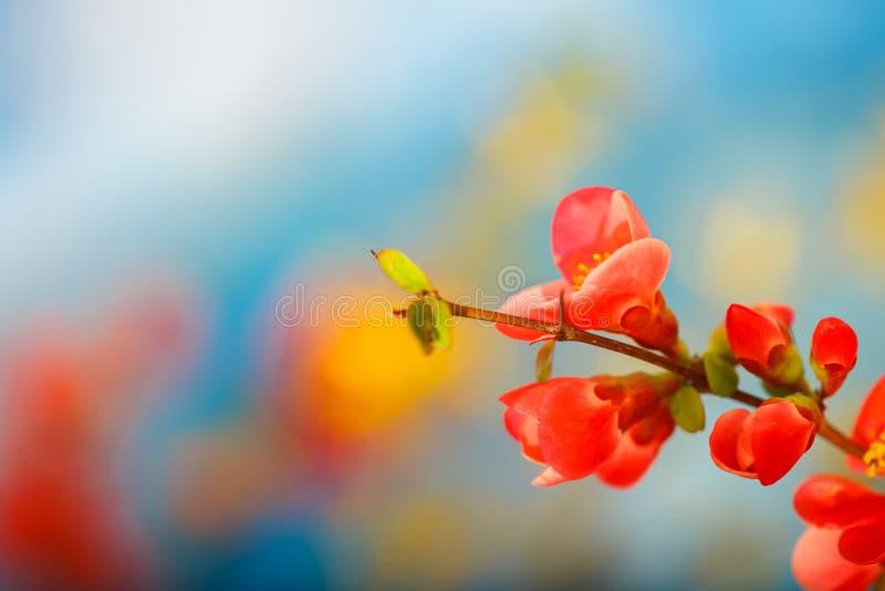 Ветвь цветков японской айвы, против предпосылки голубого неба стоковая фотография rf