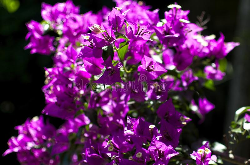 Ветвь цветков bouganvillea стоковые изображения rf
