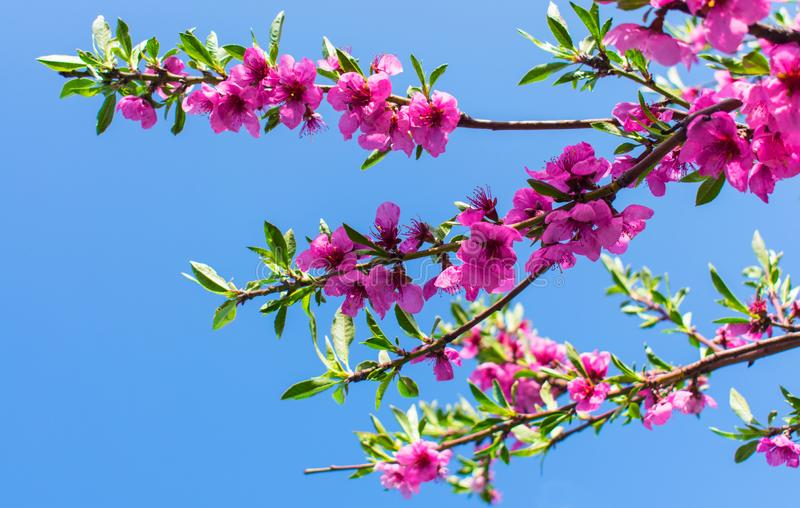Ветвь цветя персика против голубого неба стоковое изображение