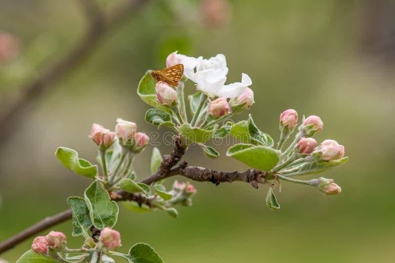 Ветвь цветя яблони с бабочкой на конце-вверх цветка стоковое изображение