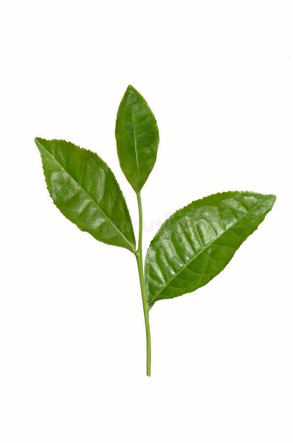 Ветвь чая с листьями стоковая фотография