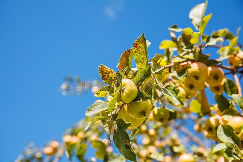 Ветвь яблони с плодоовощами стоковые фотографии rf