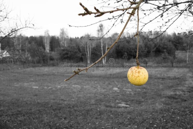 Ветвь Яблока стоковые фото