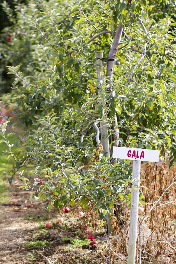 ветвь яблок яблока fruits сад листьев стоковые фотографии rf