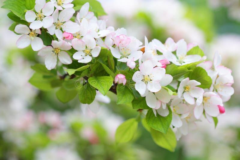 Ветвь яблони с чисто белыми цветениями стоковые изображения