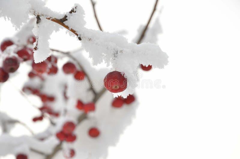 Ветвь ягоды под снегом стоковое изображение rf