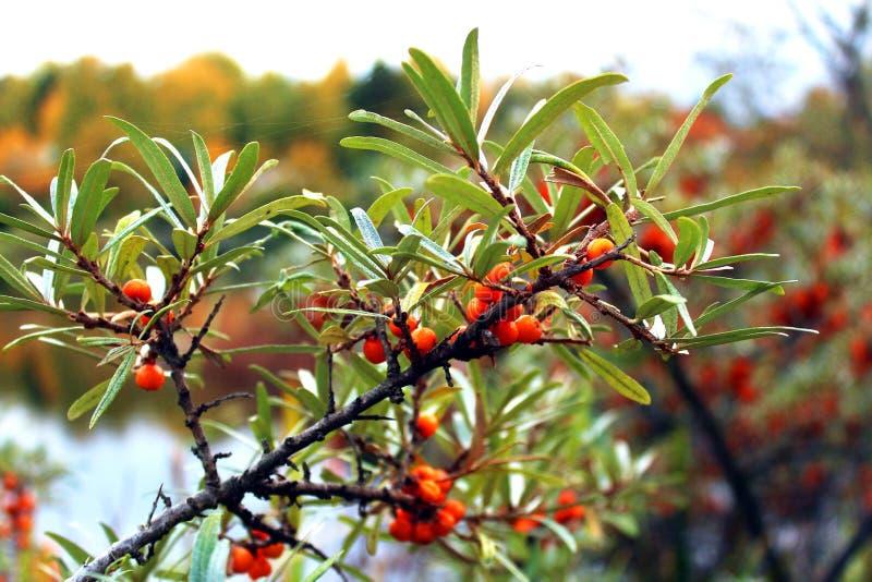 Ветвь ягод крушины золота на предпосылке живой природы стоковая фотография