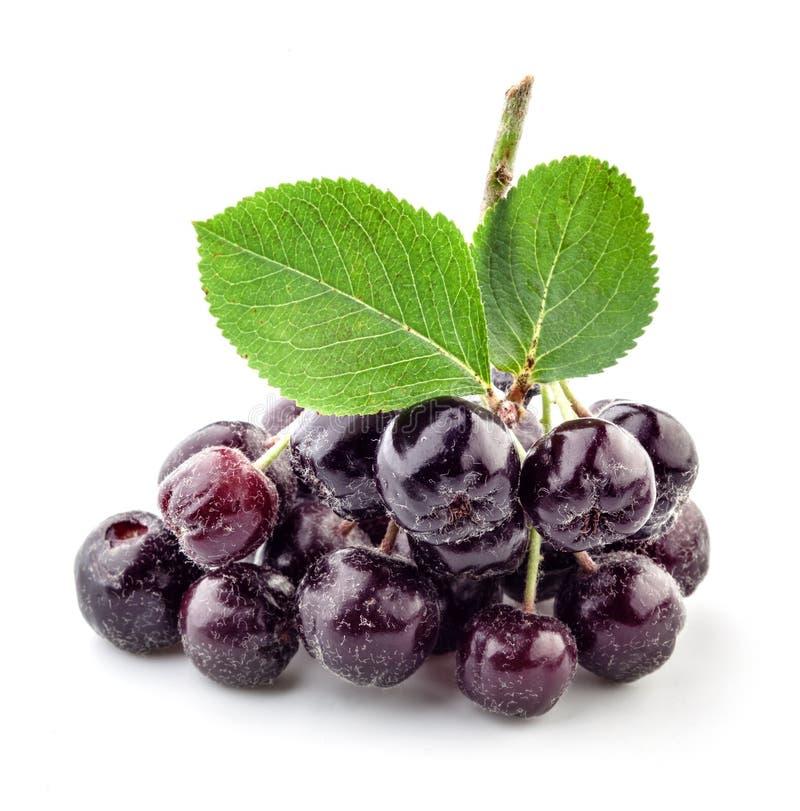 Ветвь Ashberry стоковые изображения