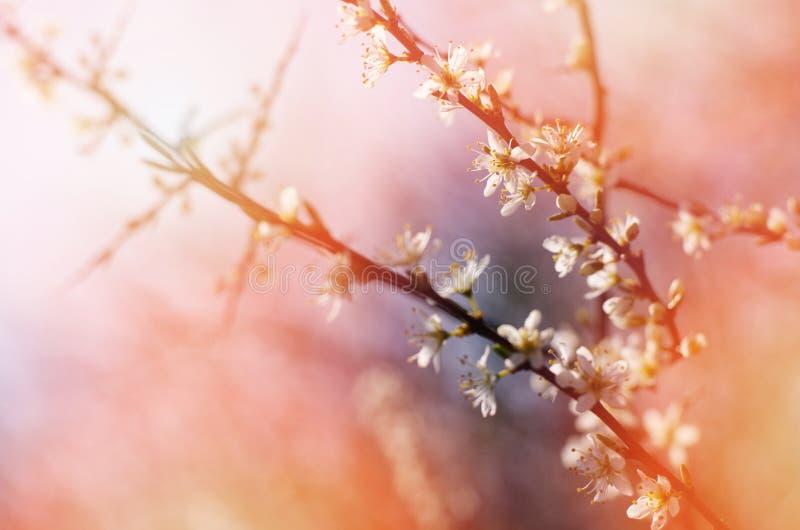 Ветвь blossoming дерева с белыми цветками против солнечного, яркого неба Цвести весны стоковая фотография rf