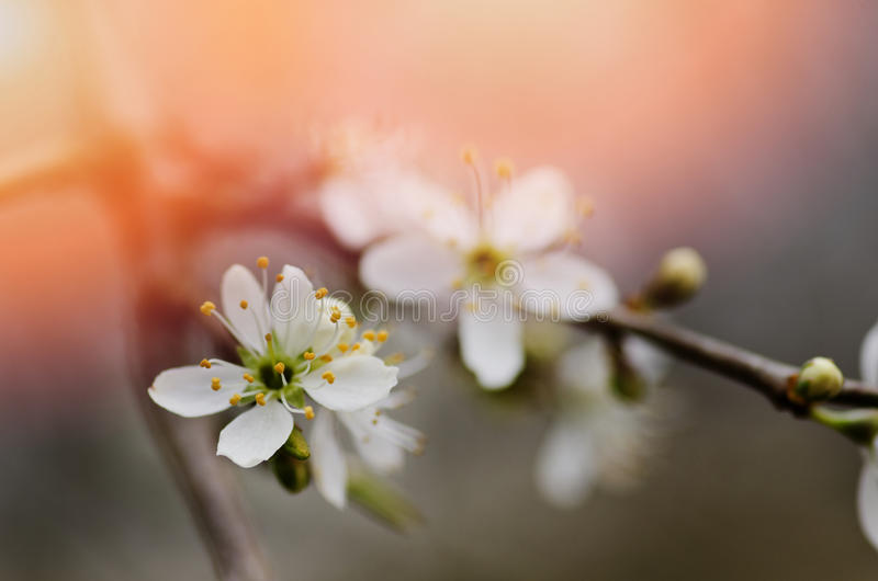 Ветвь blossoming дерева с белыми цветками Floweri весны стоковые фотографии rf