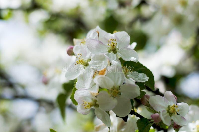 Ветвь blossoming поднимающего вверх яблони близкое стоковое изображение rf
