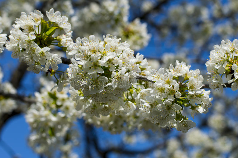 Ветвь blossoming сладостной вишни против неба, конец вверх стоковое изображение