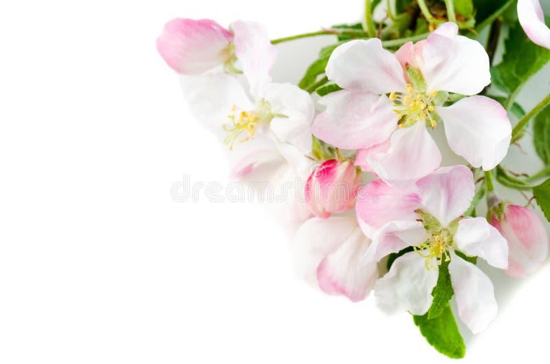 Ветвь blossoming яблони на белой предпосылке, конец-u стоковая фотография
