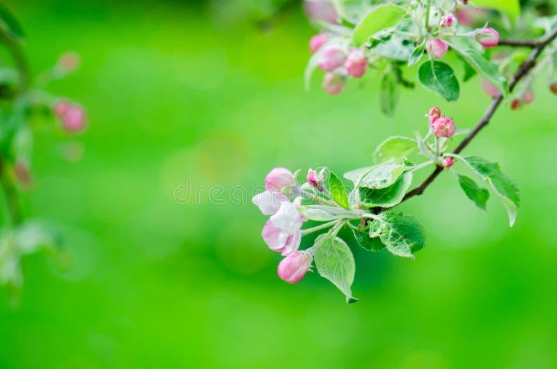 Ветвь blossoming яблонь в весеннем времени, конце-вверх стоковое изображение