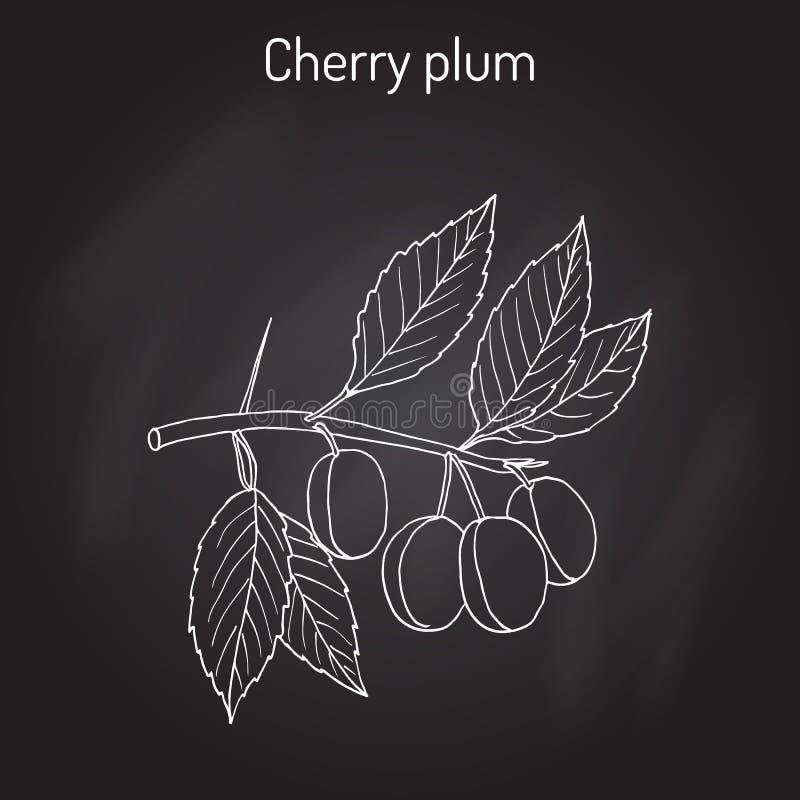 Ветвь cerasifera сливы сливы вишни с плодоовощами бесплатная иллюстрация