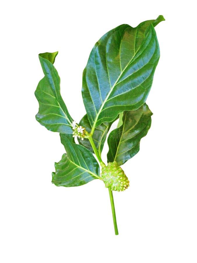 Ветвь citrifolia Noni или morinda изолированная на белизне стоковая фотография rf