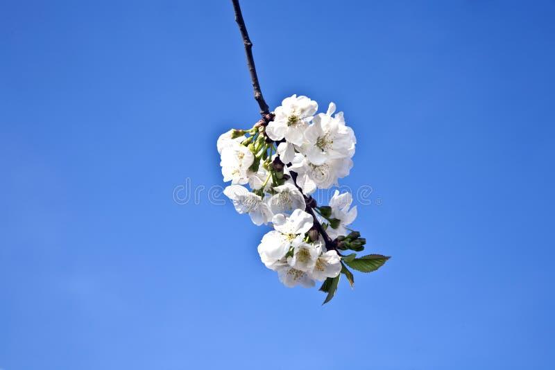 Download Ветвь Close-up цветеня весной Стоковое Изображение - изображение насчитывающей green, плодоовощ: 40586825