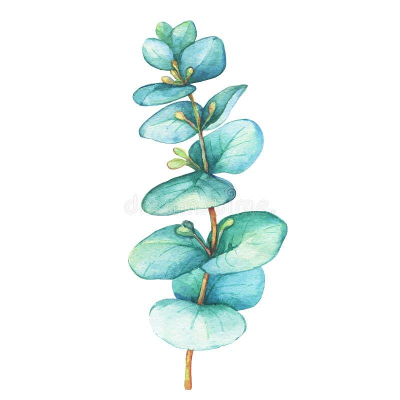 Ветвь cordata евкалипта евкалипта серебр-доллара, засаживает также как камедь серебряного доллара бесплатная иллюстрация