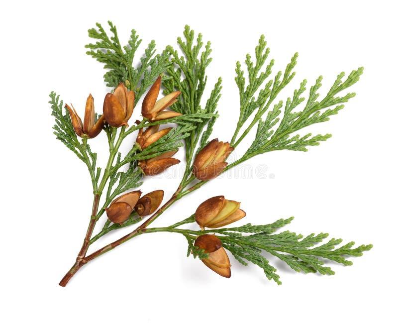 Ветвь Cypress стоковая фотография rf