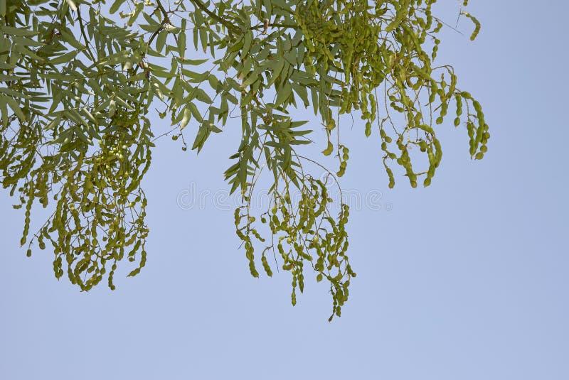 Ветвь japonicum Styphnolobium со стручками семени стоковые фото