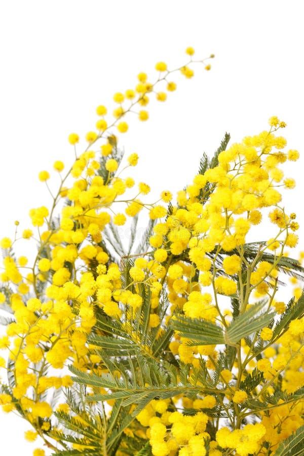 Ветвь mimosa стоковые фотографии rf
