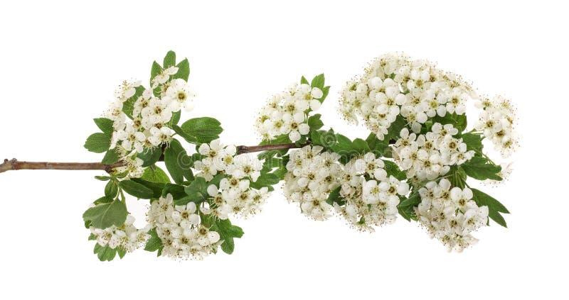 Ветвь monogyna боярышника или боярышника при цветки изолированные на белой предпосылке стоковые фото