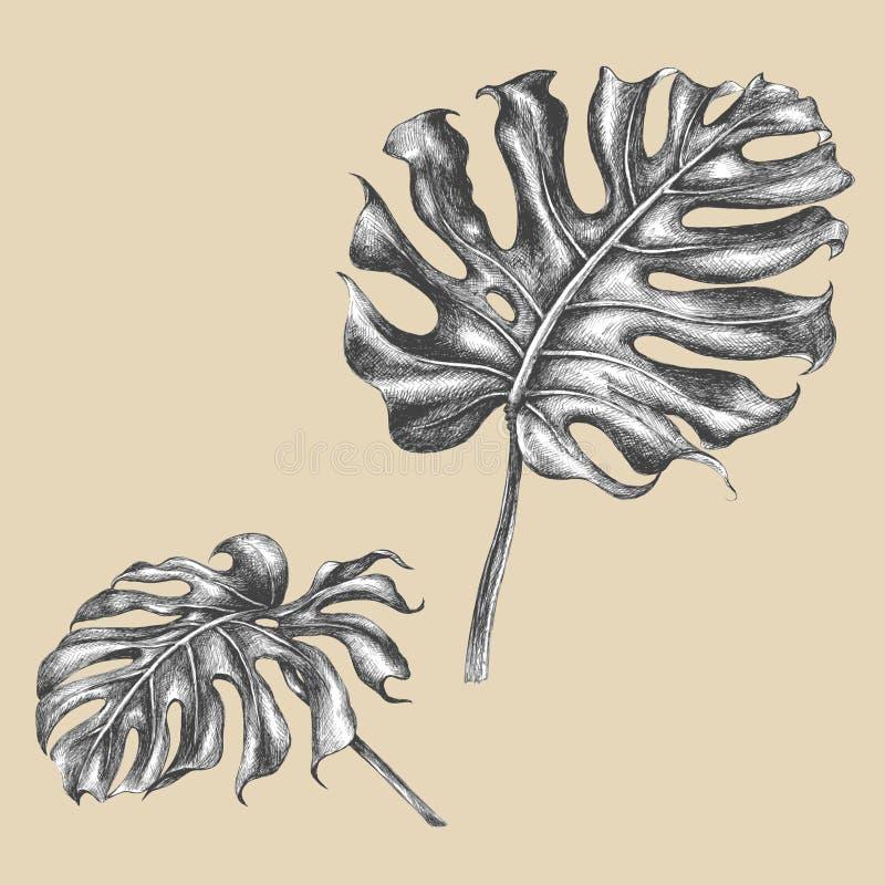 Ветвь monstera с листьями