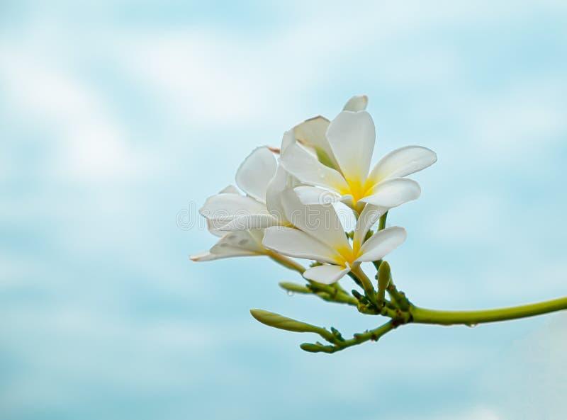 Ветвь plumeria или цветков frangipani стоковое фото rf