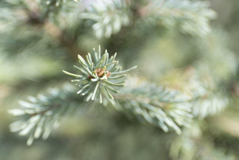 Ветвь spuces макроса голубая на предпосылке нерезкости Defocused конец вверх по ели стоковые фотографии rf