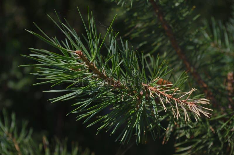 Ветвь sylvestris Pinus стоковые фотографии rf